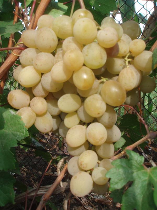 ягоды винограда Розовая Дымка