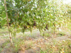 виноград дойна - описание