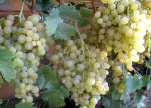 сорт виноград тукай