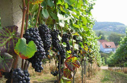 виноград на алтае