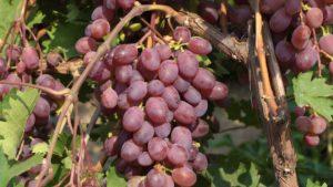 виноград виктория гроздь