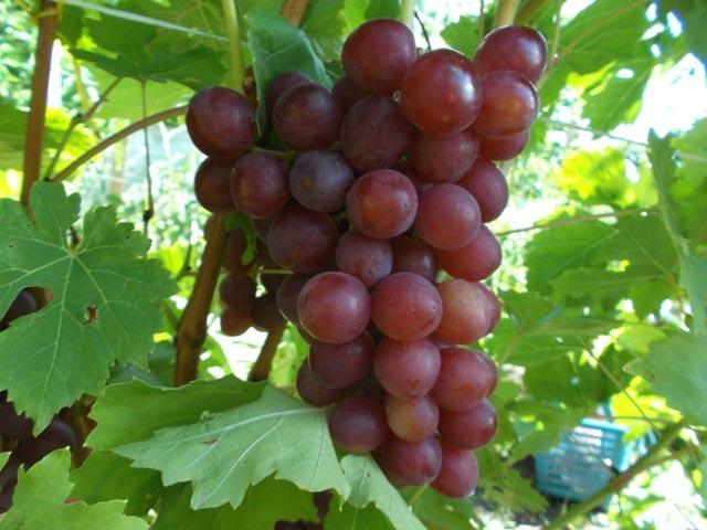 виноград блестящий - описание