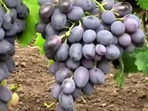 уход за виноградом фурор