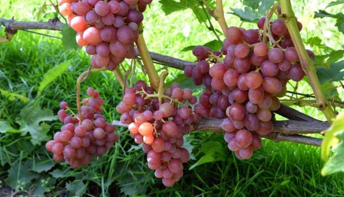 сорт винограда блестящий фото и описание