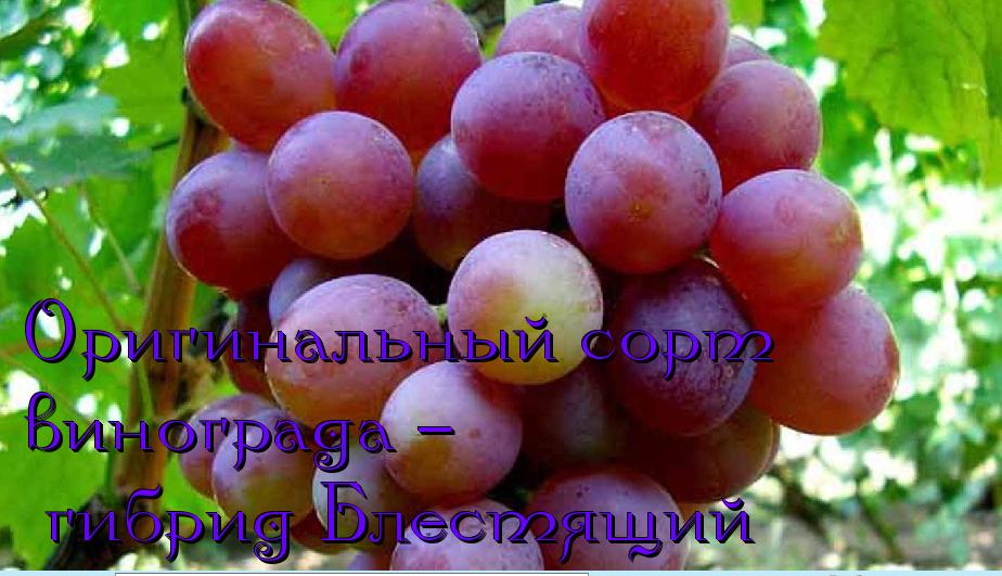 виноград блестящий