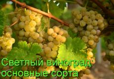 сорта светлого винограда