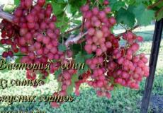 виноград сорт виктория