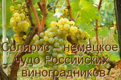 Солярис – немецкое чудо Российских виноградников