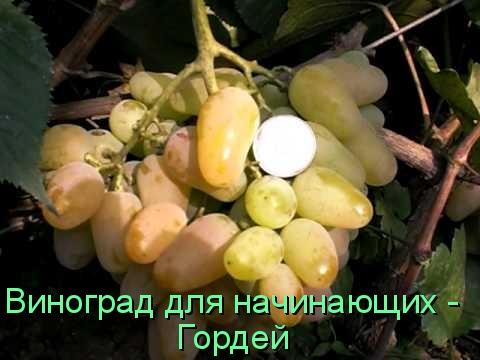 Виноград для начинающих - Гордей