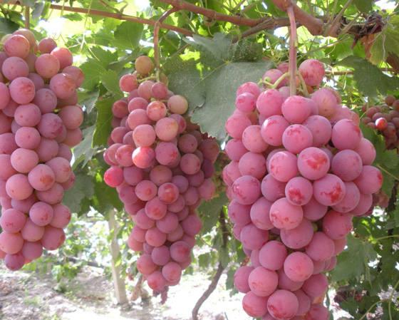 грозди ред глоб