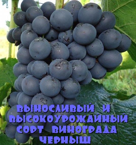 Выносливый и высокоурожайный сорт винограда Черныш