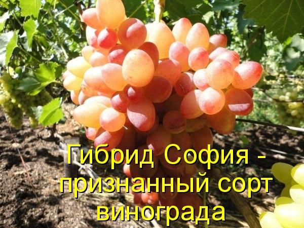 Гибрид София - признанный сорт винограда