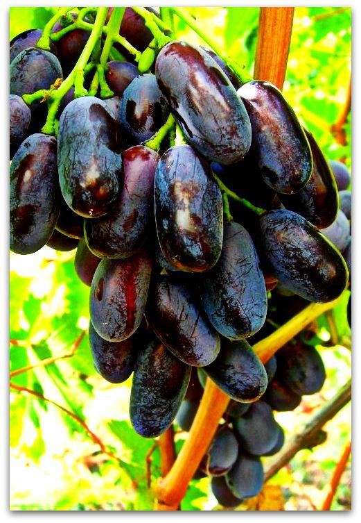 ягоды винограда джованни