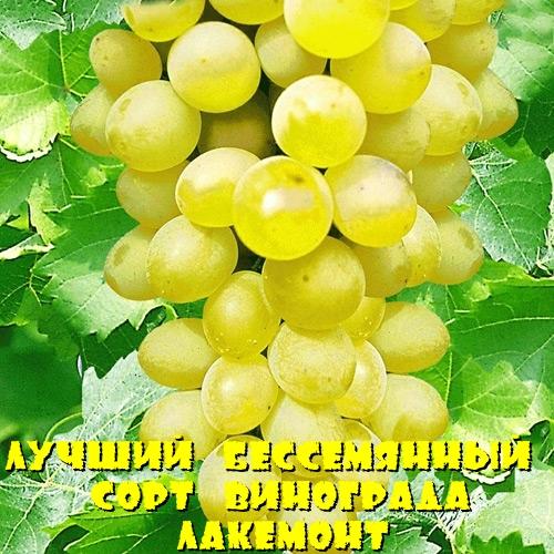 виноград Лакемонт