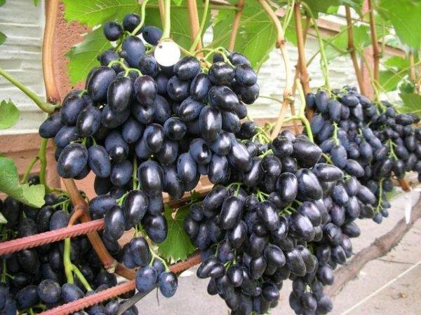 грозди винограда ришелье