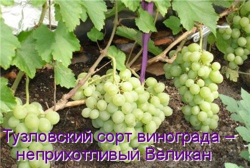 Тузловский сорт винограда – неприхотливый Великан