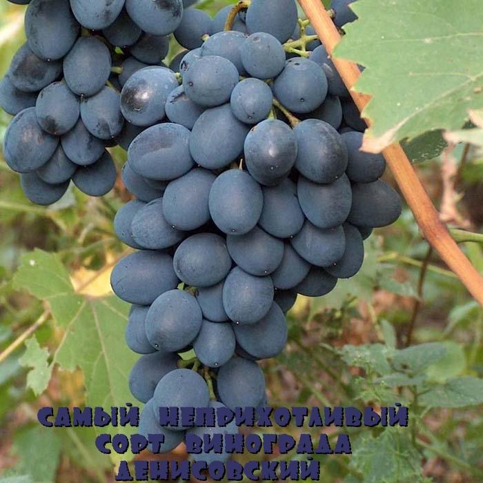 Самый неприхотливый сорт винограда Денисовский