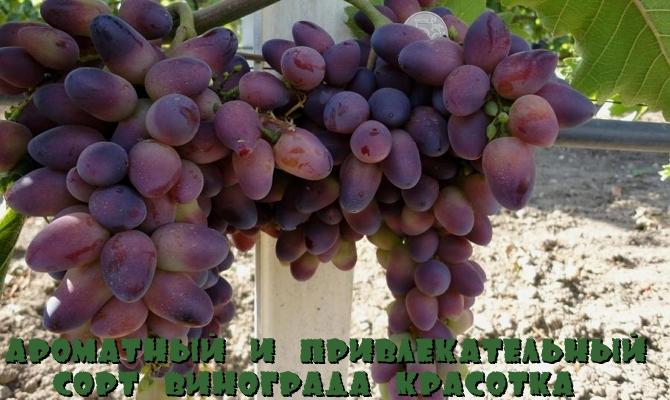 Ароматный и привлекательный сорт винограда Красотка