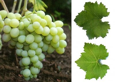 гроздь винограда деметра