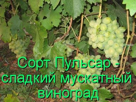Сорт Пульсар - сладкий мускатный виноград
