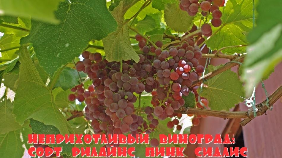 Неприхотливый виноград: сорт Рилайнс пинк сидлис