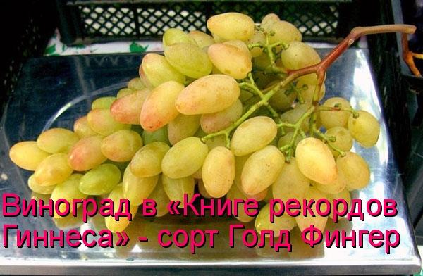 Виноград в «Книге рекордов Гиннеса» - сорт Голд Фингер