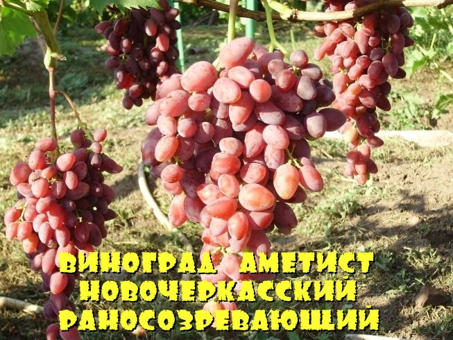 Виноград Аметист Новочеркасский раносозревающий