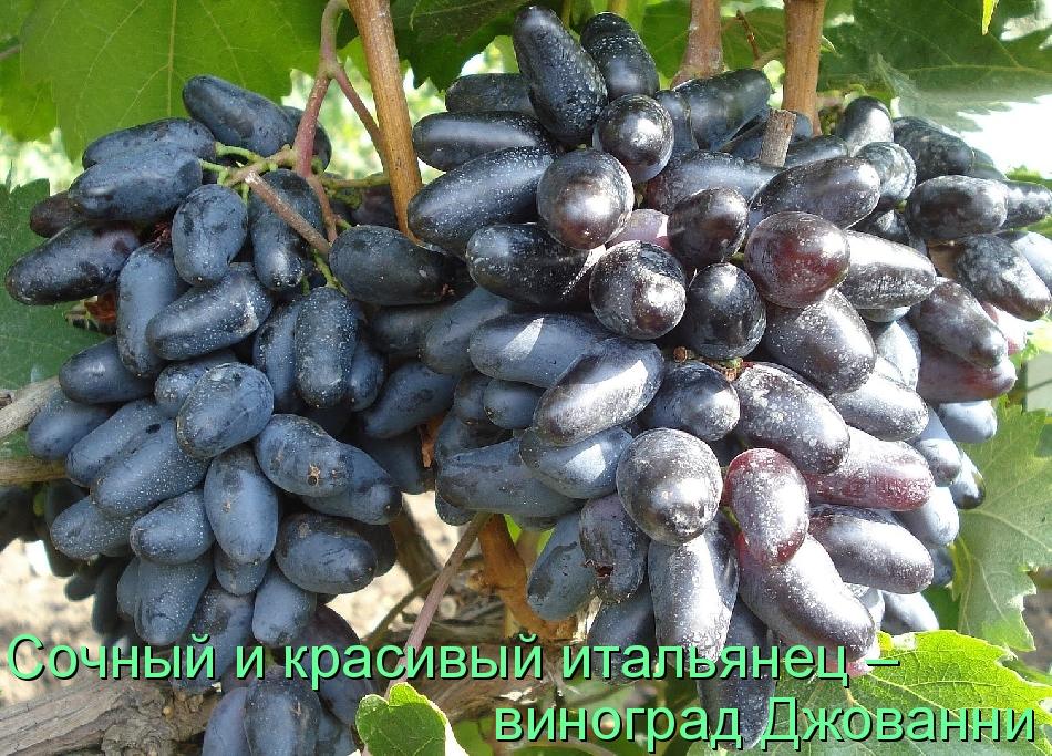 Сочный и красивый итальянец – виноград Джованни