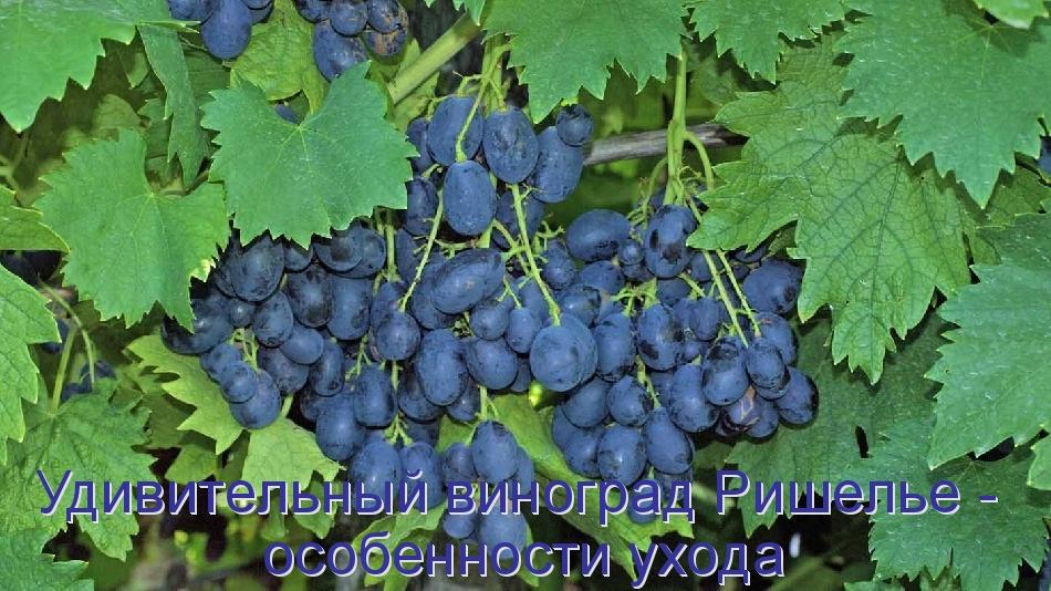 Удивительный виноград Ришелье - особенности ухода
