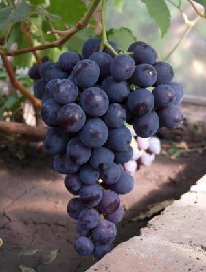 гроздь винограда забава