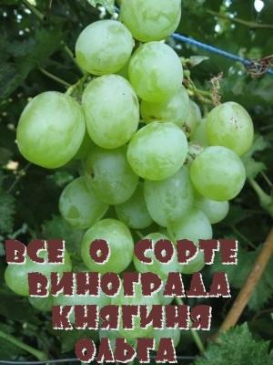 Все о сорте винограда Княгиня Ольга