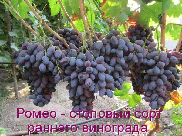 Ромео - столовый сорт раннего винограда