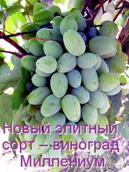 Новый элитный сорт –виноград Миллениум
