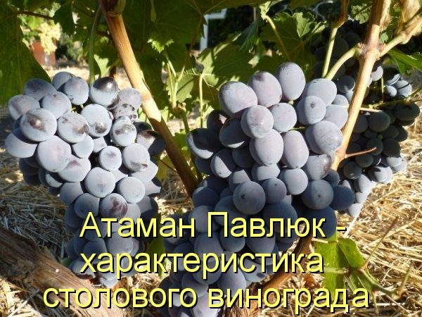 Атаман Павлюк - характеристика столового винограда
