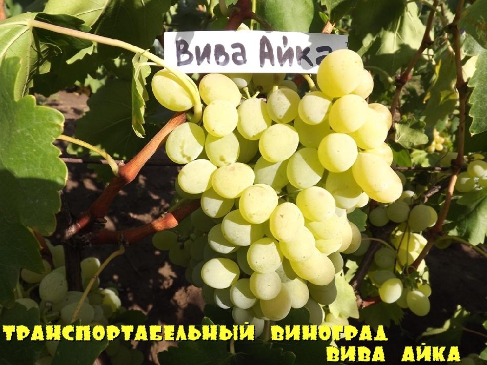 Транспортабельный виноград Вива Айка