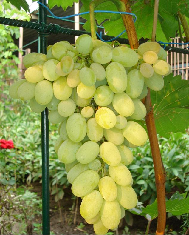 гроздь винограда феномен