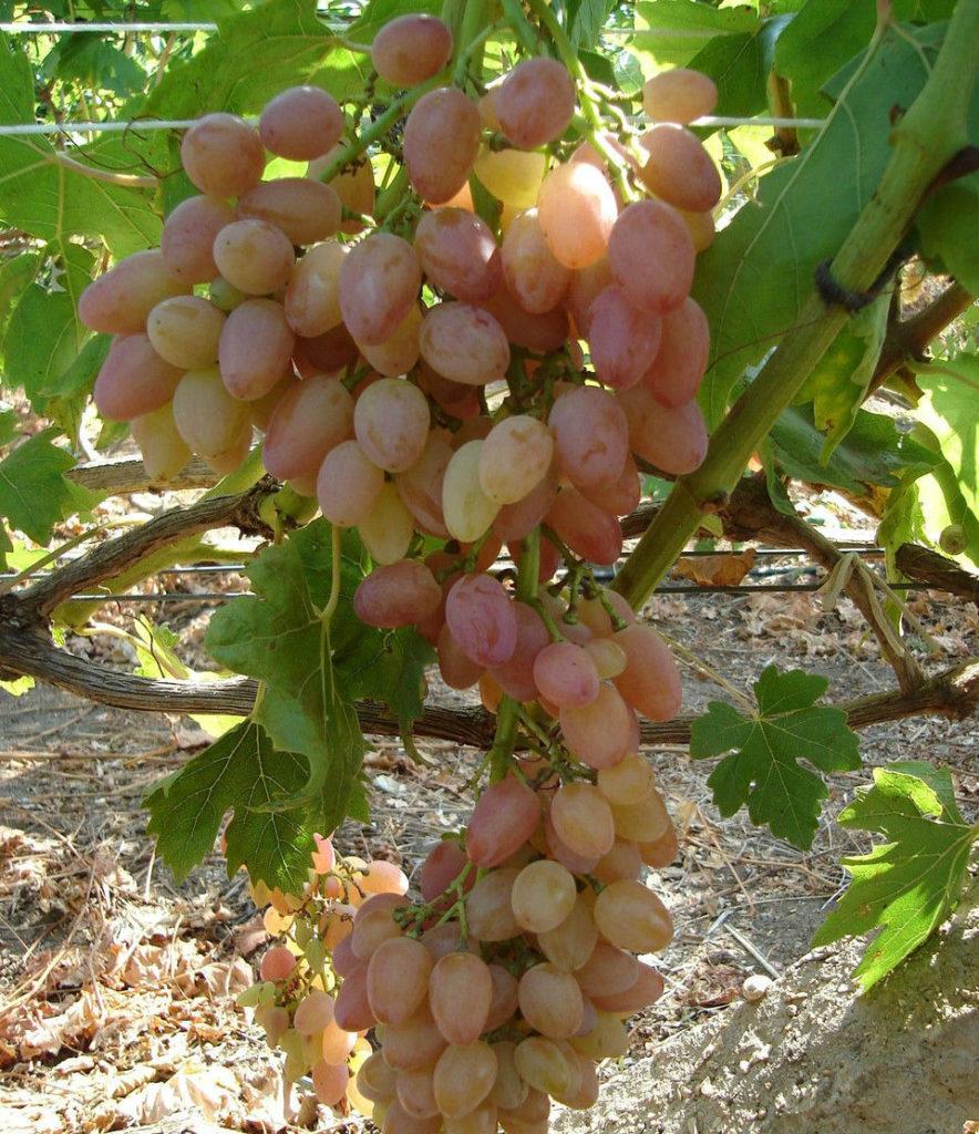 ягоды винограда мечта