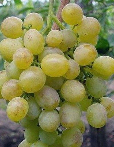 ягоды винограда Идеал