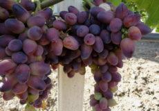 Виноград с гармоничным вкусом и тонким ароматом — сорт Рошфор 665