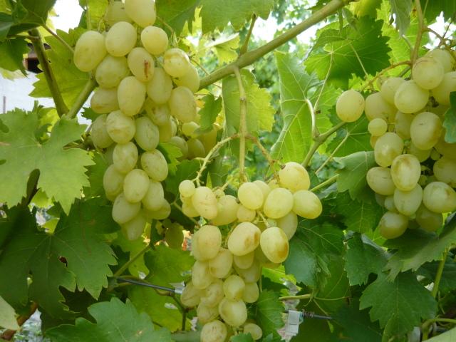 грозди княгини ольги