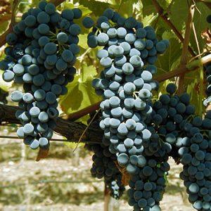 морозоустойчивый виноград