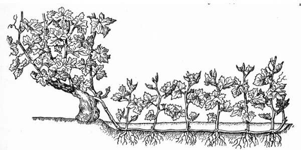 схема размножения методом горизонтальных отводок