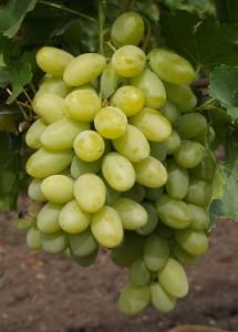 гроздь винограда вива айка