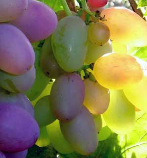 ягодны винограда Денал