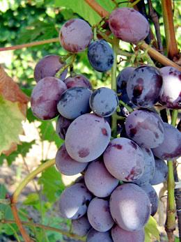 ягоды винограда Атаман Павлюк