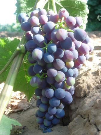 посадка винограда Черныш