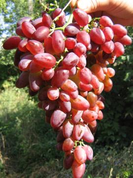 гроздь винограда аметист новочеркасский