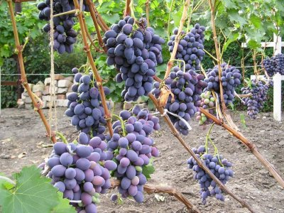 лоза винограда Атаман Павлюк