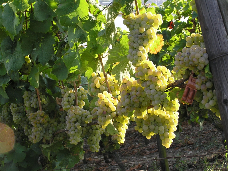 грозди винограда Солярис