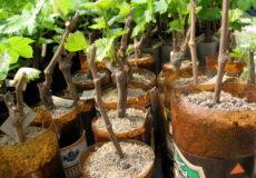 черенкование винограда